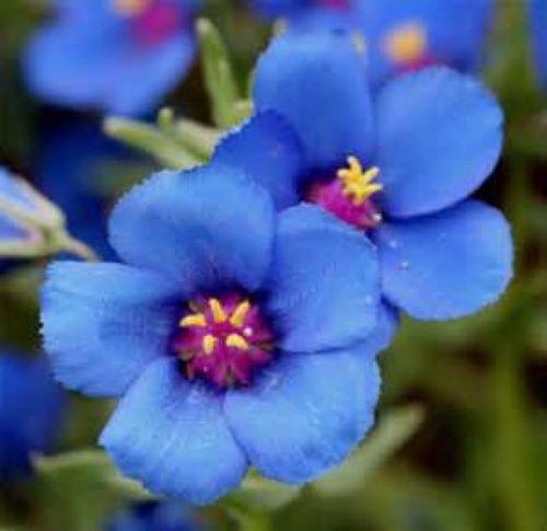 BLUE PIMPERNEL 50 FRESH SEEDS