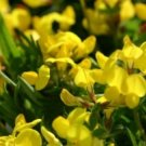 BIRD'S FOOT TREFOIL 100 FRESH SEEDS