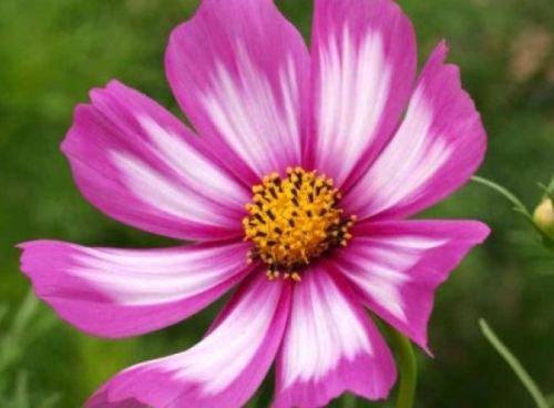 COSMOS CANDYSTRIPE 30 FRESH FLOWER SEEDS
