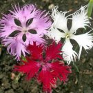 FRINGED PINKS 100 FRESH FLOWER SEEDS