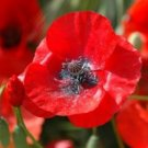 100 RED CORN POPPY FLOWER SEEDS