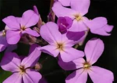 EVENING SCENTED STOCK FLOWER 200 FRESH SEEDS