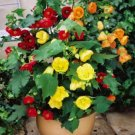 ABUTILON BELLVUE MIX FLOWERING MAPLE 20 FRESH SEEDS