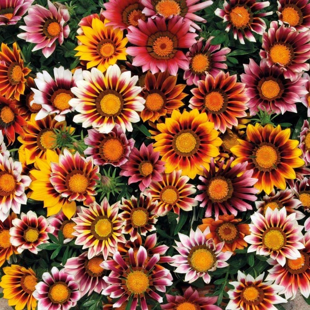 GAZANIA SPLENDENS MIX 25 FRESH FLOWER SEEDS