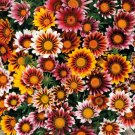 GAZANIA SPLENDENS MIX 25 FRESH FLOWER SEEDS