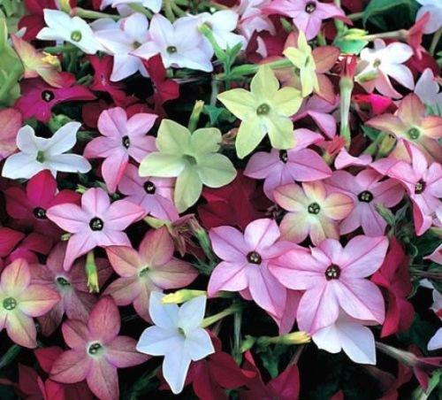 200 + FLOWERING TOBACCO MIX SEEDS