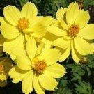 COSMOS DWARF LEMON 30 FRESH FLOWER SEEDS