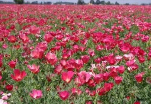 CARMINE KING CALIFORNIA POPPY 100 FRESH FLOWER SEEDS