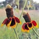 MEXICAN HAT FLOWER 100 FRESH SEEDS