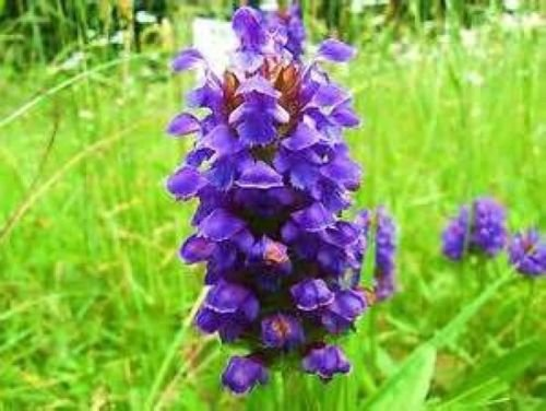 HEAL ALL PRUNELLA VULGARIS 50 FRESH SEEDS