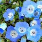 BABY BLUE EYES 100 FRESH SEEDS