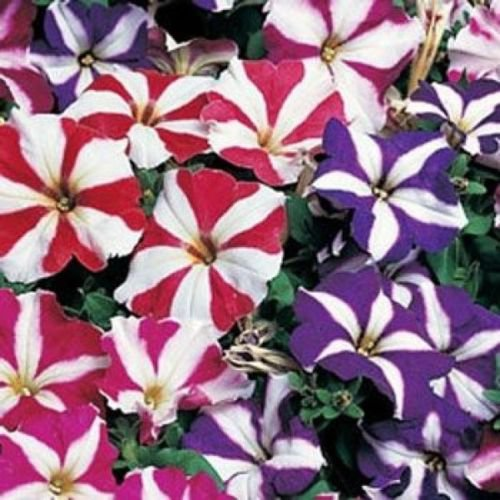 PETUNIA MULTIFLORA STAR MIX 50 FRESH SEEDS