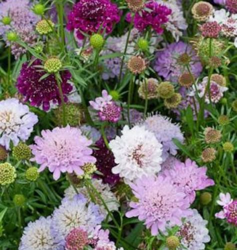 PINCUSHION FLOWER 35 FRESH SEEDS