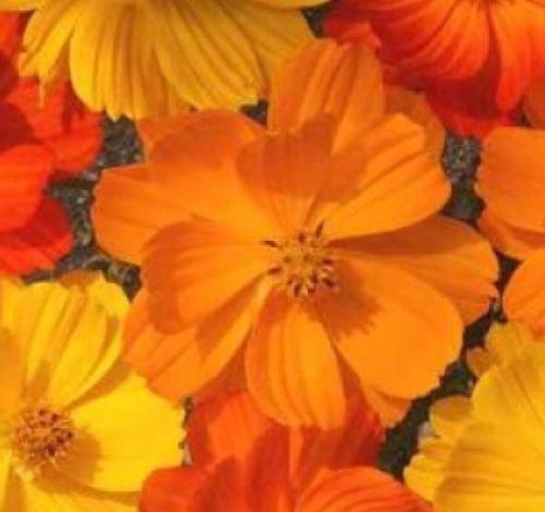 COSMOS BRIGHT LIGHTS MIX 30 FRESH FLOWER SEEDS