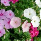 PHLOX ANNUAL MIXED COLORS 50 FRESH SEEDS