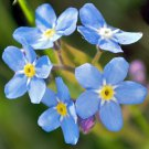 FORGET ME NOT FLOWER SEEDS 100 FRESH SEEDS