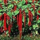 LOVE LIES BLEEDING-CRIMSON-TASSLE FLOWER 100 FRESH SEEDS