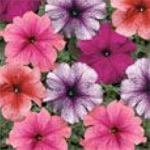PETUNIA MULTIFLORA VEINED MIX  50 FRESH SEEDS