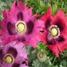 PEPPERBOX POPPY FLOWER SEEDS 50 FRESH SEEDS