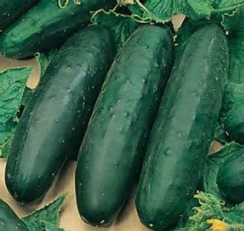 30 FRESH HEIRLOOM SLICING CUCUMBER MARKETMORE 76 SEEDS