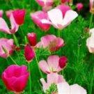 PURPLE GLEAM POPPY FLOWERS 100 SEEDS