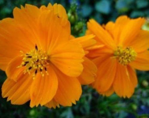 COSMOS ORANGE 30 FRESH FLOWER SEEDS