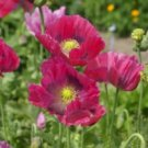 HEN & CHICKENS POPPY FLOWER SEEDS 100 FRESH SEEDS