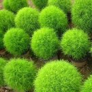 120+ Seeds Rare Kochia Scoparia Grass Seeds Showy E~Z Grow Rapid Exotic Hardy HC