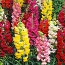 SNAPDRAGON FLOWER SEEDS 2000+ beautiful TALL MIXED COLORS GARDEN