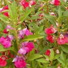 BALSAM SEEDS 100+ CAMILIA FLOWERED BALSAM MIX large DOUBLE BLOSSOMS annual