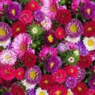 ASTER POWDER PUFF MIX SEEDS 300+ MIXED COLORS ANNUAL pink PURPLE