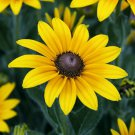 BLACK EYED SUSAN FLOWER SEEDS 2000+ PERENNIAL bee BUTTERFLY garden