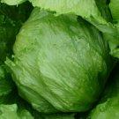 ICEBERG LETTUCE SEEDS 500+ HEAD lettuce VEGETABLE garden SALAD