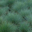 BLUE FESCUE GRASS SEEDS 300+ PERENNIAL ORNAMENTAL GRASS garden