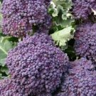 PURPLE BROCCOLI SEEDS 500+ EARLY PURPLE SPROUTING garden VEGETABLE