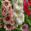 HOLLYHOCK FLOWER SEEDS 30+ SUMMER CARNIVAL MIX herb PERENNIAL
