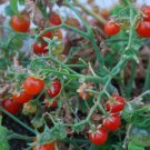 TINY TIM CHERRY TOMATO SEEDS 50+ DWARF plant GREAT FOR CONTAINERS