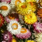 HELICHRYSUM STRAWFLOWER SEEDS 300+ MIXED COLORS ANNUAL red ORANGE