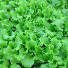 GRAND RAPIDS LETTUCE SEEDS 500+ healthy GARDEN LEAFY greens SALAD