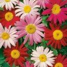 PAINTED DAISY FLOWER SEEDS 200+ PERENNIAL bees BUTTERFLY garden