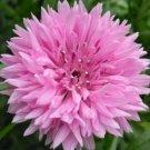 PINK CORNFLOWER SEEDS 200+ TALL PINK BACHELOR BUTTON wildflower