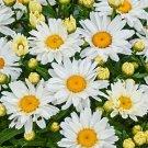 SHASTA DAISY FLOWER SEEDS 200+ PERENNIAL bees BUTTERFLY garden