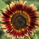 INDIAN BLANKET SUNFLOWER SEEDS 20+ ANNUAL flowers GARDEN bees