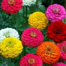 ZINNIA LILLIPUT FLOWER SEEDS 200+ MIXED COLORS ANNUAL reds PINKS