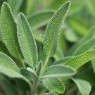 SAGE HERB SEEDS 50+ BROADLEAF common SHRUB bush CULINARY aroma