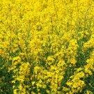 YELLOW MUSTARD SEEDS 500+ micro-greens MAKE YOUR OWN MUSTARD
