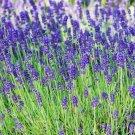 LAVENDER SEEDS 100+ HERBS perennial garden Plants AROMA Culinary