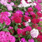 SWEET WILLIAM FLOWER SEEDS 300+ mixed colors REDS pink PURPLE white BIENNIAL