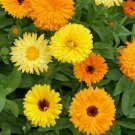CALENDULA FLOWER SEEDS 100+ PACIFIC BEAUTY MIX annual ORANGE