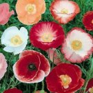 DOUBLE SHIRLEY POPPY SEEDS 1000+ MIXED COLORS PAPAVER flowers